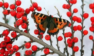 Week in wildlife : A butterfly sits on red berries between snow showers in the Scottish Borders
