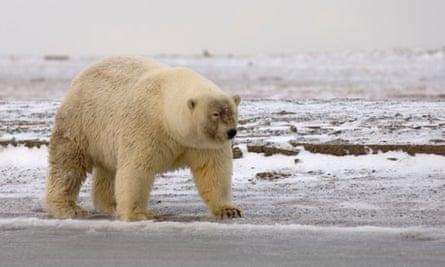 A Possible Polar Bear - Grizzly Hybrid also called grolar bear