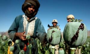 MDG : Drugs and development :  opium in a poppy field in a village in Golestan district