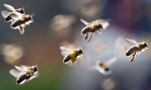 Spring ; Bees, partly loaded with pollen, return to their beehive