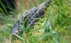 adder testing : genetic survey of the UK's only venomous snake