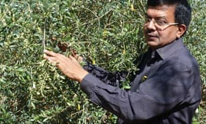 MDG : Growing olives in India