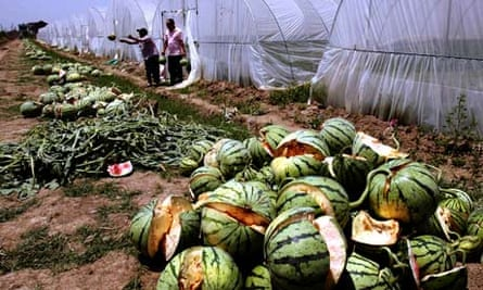 Chemical growth accelerator causes watermelon to bust while still growing