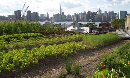 Green roof of New York : Plants grow on a rooftop farm in Greenpoint