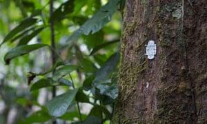 Damian blog : A tree in a forest near Buchanan bears bar code, Liberia