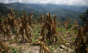 MDG : Climate change in Guatemala : A view of corn crop, ruined by drought, in Baja Verapaz