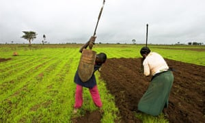 MDG : African small farmers in Nigeria tend to a field of corn