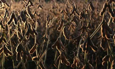 MDG : Soybeans sit in a field before being harvested in Ines Indar , Argentina