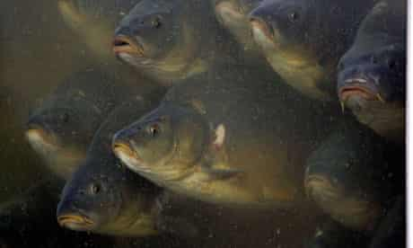World aquaculture production  : Carp swim at a fish farm at Zabieniec