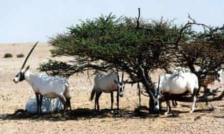 Arabian Oryx walk in Al Maha Desert in Dubai