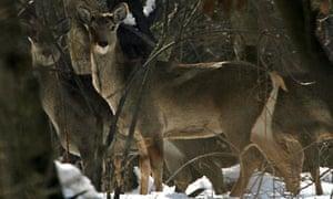 A group of Kashmiri Hangul move inside jungle area in Dachigam