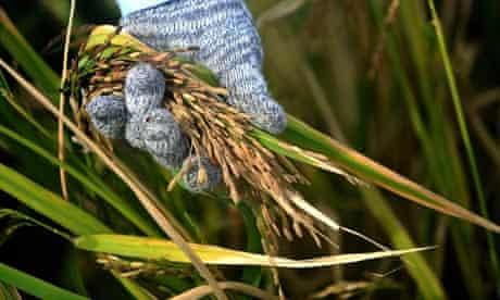 MDG : Rice at IRRI in Philippines