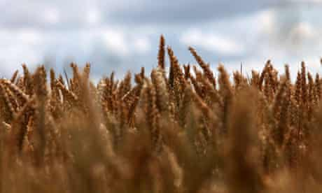 Fields of gold ... no GM food crops are grown in the UK – yet.