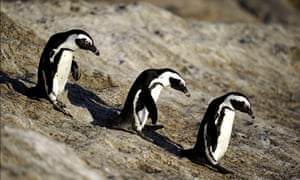questions on biodiversity and species loss : African penguins
