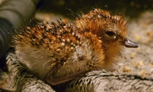 Critically endangered spoon-billed sandpiper to hatch in captivity