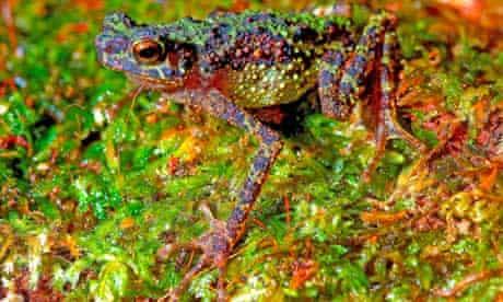 The Sambas Stream Toad