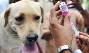 MDG : Rabies : rabies vaccination for a labrador  dog