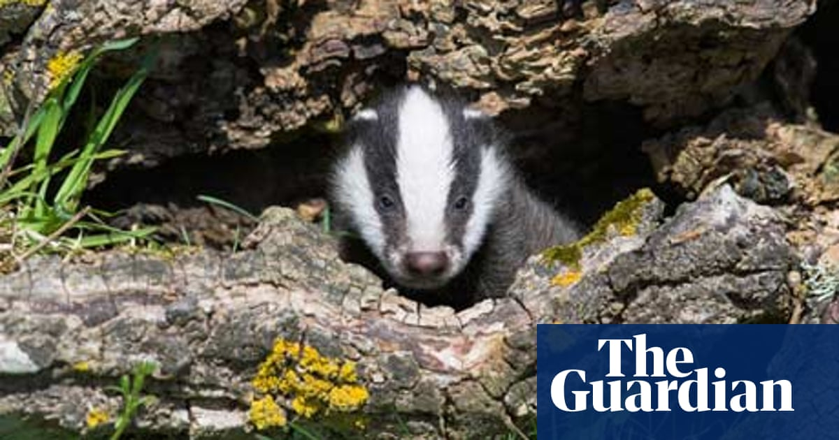 Badger TB cull: will the zero-cost, zero-sense policy prevail