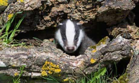 Damian blog : Badger Cub