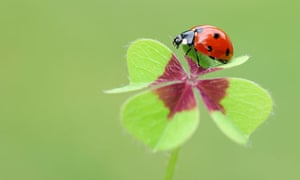 Country Diary : Seven-spot Ladybird