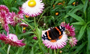Country diary : Red Admiral Butterfly
