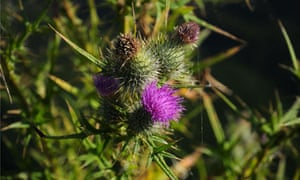 Country Diary  : A Spear Thistle in flower
