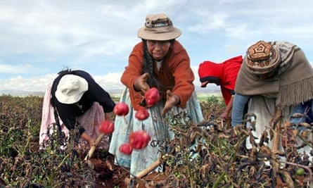 MDG : Bolivian women pick up potatoes in El Alto , Bolivia