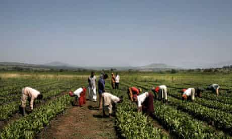 MDG : Land grab in Ethiopia , Karuturi Global Palm Oil Plantations And Workers