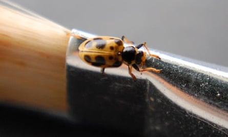 13-spot long-lost ladybird back breeding in Britain