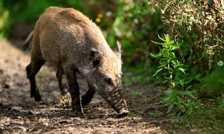 Wild Bboar looks for food in countryside