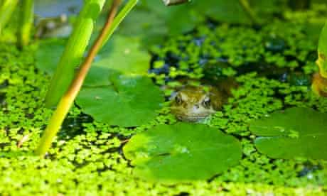 Leo blog : A frog in a garden pond in Clitheroe, Lancashire.
