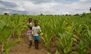 MDG : Malawi tobacco child labour story
