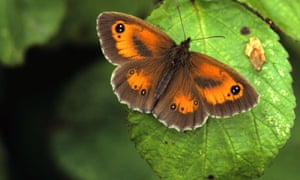 Gatekeeper butterfly, Pyronia tithonus, male