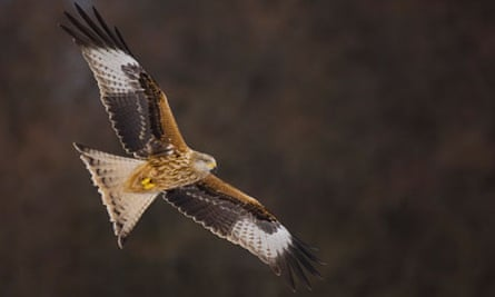 Scottish Bird Of Prey Colony Hit By Mass Poisonings Birds The Guardian