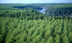 Eucalyptus Forest in Barra do Riacho , Brazil