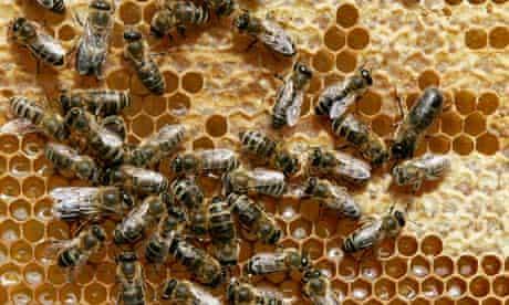 Honey bees sit on a honeycomb at Bad Segeberg, northern Germany