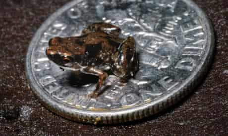 The world's smallest vertebrate a tiny frog called Paedophryne amanuensis