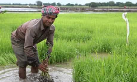 MDG : Landgrab in Gambella province of Ethiopia , An Indian worker transplants rice