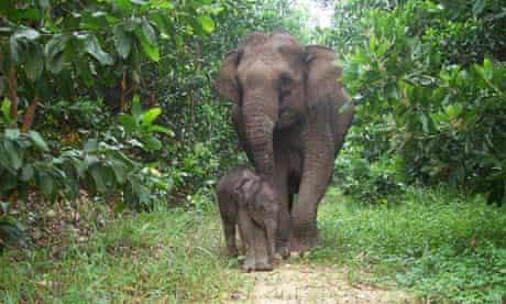 Sumatran Elephants, Riau, Sumatran Indonesia