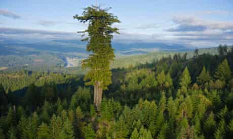 Big trees undre threat : old growth redwood forest remaining in Humboldt Redwoods State Park