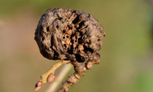 Country Diary : Oak apples