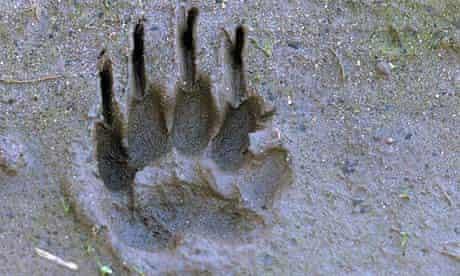 Badger Cull : Eurasian Badger (Meles meles) track in sand