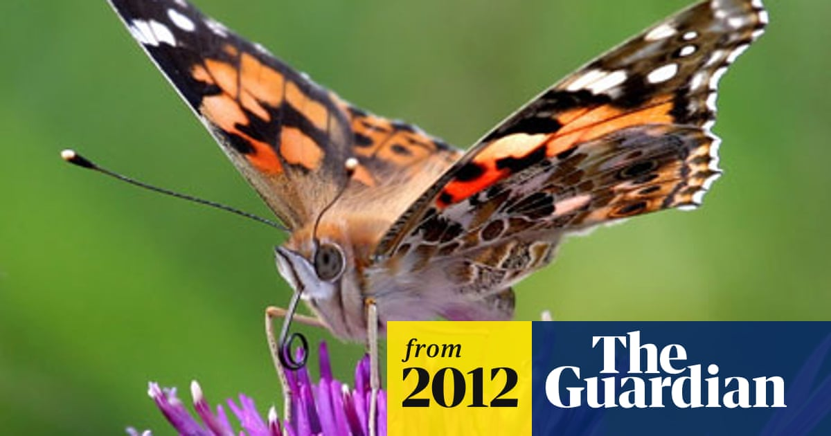 Experts solve mystery of painted lady's winter disappearance