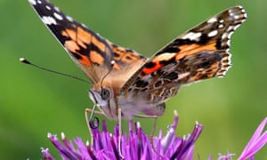 Painted lady butterfly migration mystery solved