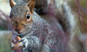 Country Diary : A grey squirrel with a nut
