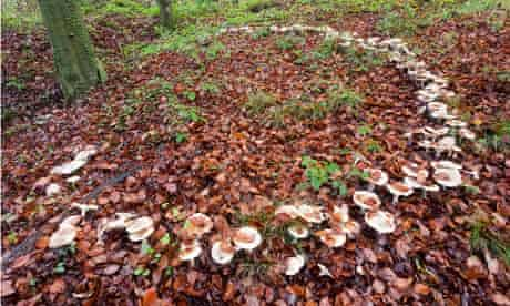 Country Diary archive : A large fairy ring of toadstools in the woodland floor