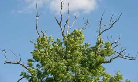 Mysterious Fungus causes Ash tree Dieback