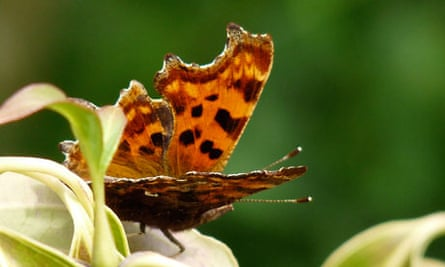 Country Diary : Comma butterfly