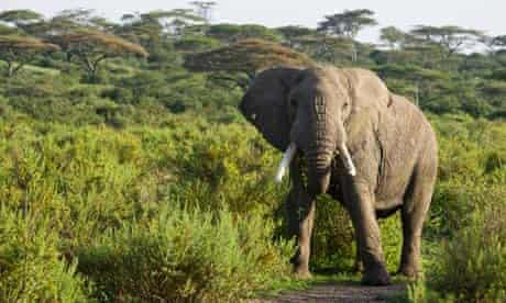 Elephant walking in Ngorongoro Conservation Area, Serengeti National Park, Tanzania