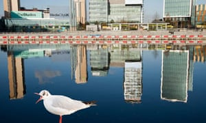Green shoots on birds in cities : A Seagull in front of Media city at Salford Quays, Manchester